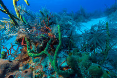 Sandy bottom of Caribbean sea with corals and fishes Royalty Free Stock Photography