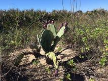Sandy Cactus en la playa Fotografía de archivo libre de regalías