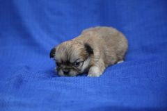 Sandy chihuahua puppy lying on a blue cloth stock photos