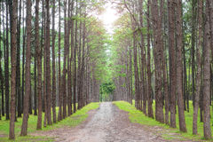 Sandy country road in pine forest Stock Photos