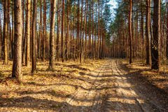 Sandy countryside road through forest. Sunset Sunrise In Autumn Stock Images