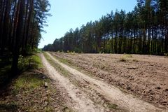 A sandy dirt road through a pine forest stock image