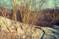 Sandy dune with trees in autumn Royalty Free Stock Images