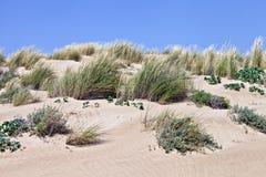 Sandy dunes with wild vegetation Stock Photos