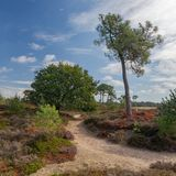 Sandy footpath in a colorful heather field in Friesland, The Netherlands stock photo