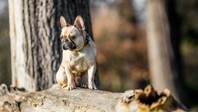 A sandy french bulldog sitting on a fallen tree. On a sunny morning royalty free stock photography