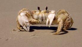 Sandy Ghost Crab Foto de Stock Royalty Free