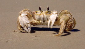 Sandy Ghost Crab Royalty Free Stock Photo