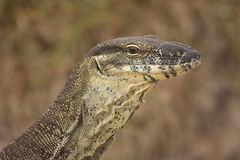Sandy Goanna Stock Photography