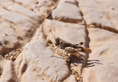 Sandy grasshopper sits on a rock Royalty Free Stock Image