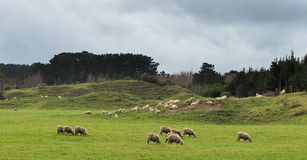 Sandy Hill Sheep. Sandy hill farmland with some sheep grazing on it Stock Images