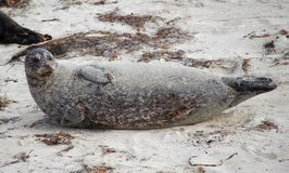 Sandy Large Seal. A large seal rest in the sand while looking around Stock Images
