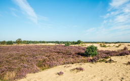 Sandy nature area with purple flowering heather Stock Photo