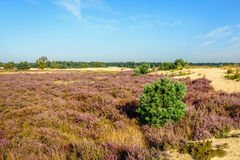 Sandy nature reserve with purple flowering heather Stock Photography