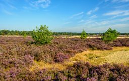 Sandy nature reserve with purple flowering heather. Landscape in the Dutch National Park Loonse en Drunense Duinen on a sunny day with a bright blue sky in the Stock Image
