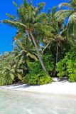 White Sandy palm beach with palms of Maldives Royalty Free Stock Images