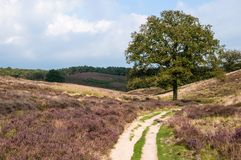 Sandy path across a the heather. Heather landscape with a sandy path and lone tree during early autumn at the Posbank in national park Veluwezoom in the royalty free stock photography