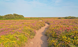 Sandy path through field of yellow and purple flowers. Cape of Frehel. Brittany. Royalty Free Stock Photography