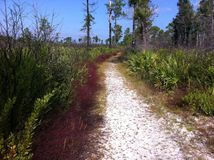 Sandy path through Florida scrub at a state park. White sandy path leading through Florida vegetation in a state park. Tall pine trees with palmetto against a Royalty Free Stock Photography