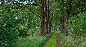 A sandy path between old beech trees. Sandy path between beech trees leading to an old Dutch cemetery Stock Photos