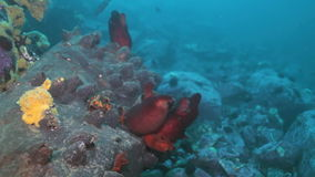 Sandy Red Seabed With Colorful Sponges Japan Sea. stock video footage