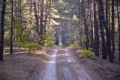 Sandy road in the forest Stock Photography