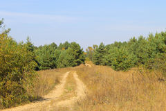 Sandy road in pine forest Stock Image