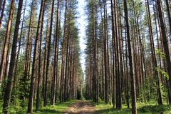 Sandy road among pine forest stock images