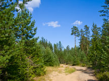 Sandy road in pine tree forest Royalty Free Stock Images