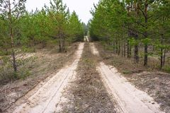 Sandy road in a young pine forest royalty free stock photo