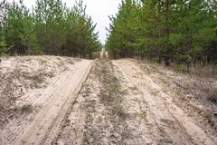 Sandy road in a young pine forest.  royalty free stock image