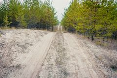 Sandy road in a young pine forest.  stock photos