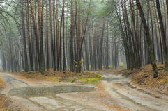 Sandy roads in rainy pine forest in Ukraine Stock Images
