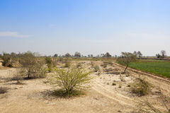 Sandy scrub and wheat field. Dry sandy scrub land with a wheat field and acacia in the arid state of rajasthan india under a blue sky in springtime Royalty Free Stock Photography