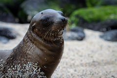 Sandy Sea Lion Royalty Free Stock Image