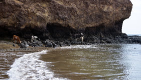 Sandy Seashore and Black Volcanic Rocks - Cow and Calves Feeding Royalty Free Stock Photography