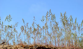 Sandy spicas. Herbal spicas on the edge of the steep Royalty Free Stock Photo