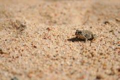Sandy toad Stock Photos