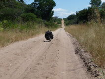 Bicycle expedition. Cycling a sandy track in Africa stock image