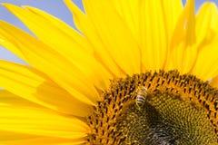 Sanflower und eine Biene Stockfotografie