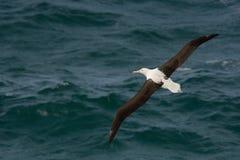 Sanfordi Diomedea - северное королевское летание Albatros над морем в Новой Зеландии около полуострова Otago, Стоковая Фотография