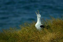 Sanfordi Diomedea - северное королевское Albatros плача на его гнезде в Новой Зеландии около полуострова Otago, стоковые изображения rf