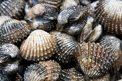 Sang Clam Close Up Images stock
