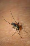 Sang de aspiration de moustique Photographie stock libre de droits