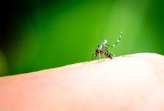 Sang de aspiration de moustique Photo stock