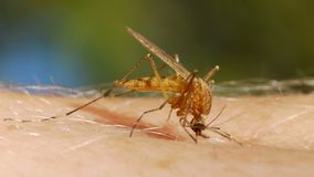 Sang de moustique suçant sur la peau humaine banque de vidéos