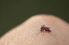 Sang de succion de moustique d'aedes Images libres de droits