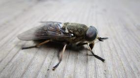 Sang-succion d'été de nature de mouche d'insecte de taon macro images stock
