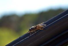 Sang-succion de l'insecte photos stock
