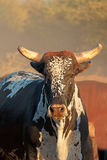 Sanga bull. Indigenous cattle breed of northern Namibia, southern Africa Stock Image